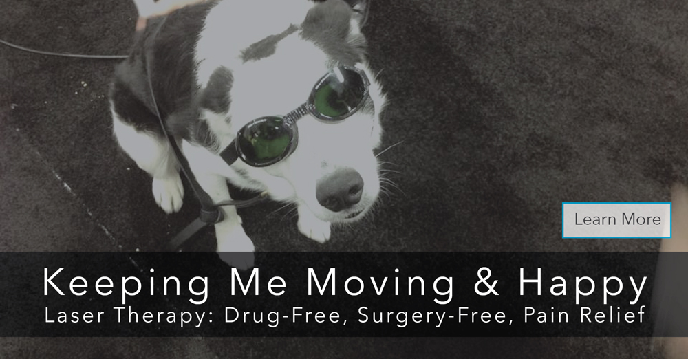Laser Therapy Veterinarian In Fort Lauderdale Fl South